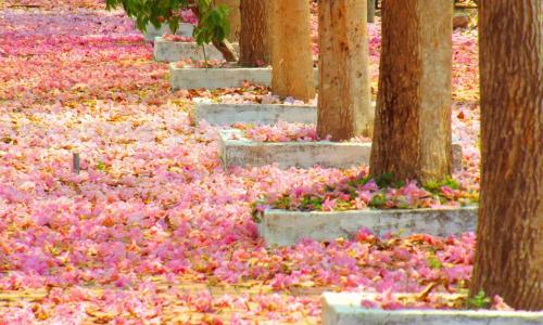 Choáng ngợp con đường hoa kèn hồng đẹp như tranh vẽ tại miền Tây
