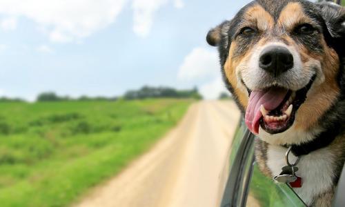 Có thể bạn chưa biết, chở theo thú cưng giúp việc lái ôtô an toàn hơn