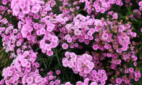 Vườn hoa thạch thảo tím biếc đẹp mê mẩn tại Cần Thơ